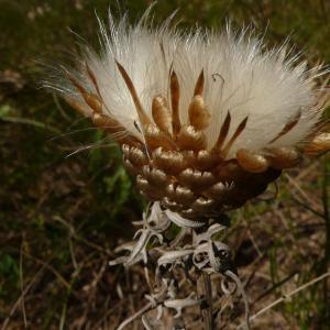 - Rhaponticum coniferum subsp. coniferum