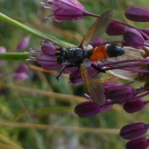 - Allium carinatum L.