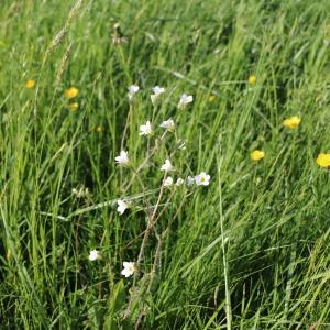 Photographie n°2326601 du taxon Saxifraga granulata L.