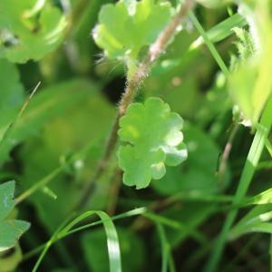 Photographie n°2326603 du taxon Saxifraga granulata L.