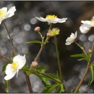 Photographie n°2326650 du taxon Ranunculus aconitifolius L. [1753]