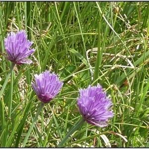 Photographie n°2326655 du taxon Allium schoenoprasum L.