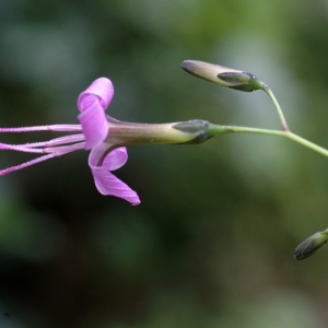 - Prenanthes purpurea L. [1753]