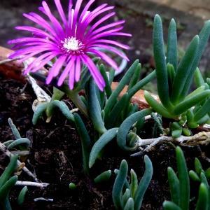 Hiver dur Midi Fleur Delosperma cooperi Violet en pot 9 cm