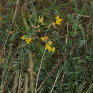 Photographie n°2327002 du taxon Lotus L. [1753]