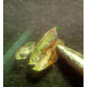 Limonium x neumannii C.E.Salmon (Saladelle de Neumann)