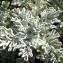 Sylvain Piry - Jacobaea leucophylla (DC.) Pelser