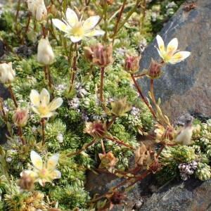 Photographie n°2327249 du taxon Saxifraga bryoides L. [1753]