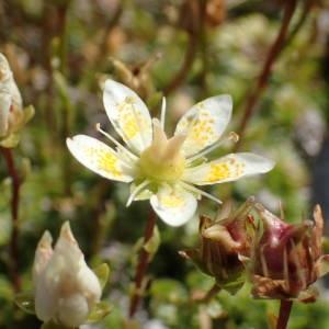 Photographie n°2327251 du taxon Saxifraga bryoides L. [1753]