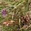 Sylvain Piry - Allium lusitanicum Lam. [1783]
