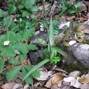 Photographie n°2327679 du taxon Cephalanthera rubra (L.) Rich. [1817]