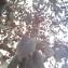 Prunus cerasifera Ehrh. [nn152749] par Mehdi Ahlamine le 22/08/2019 - Kénitra