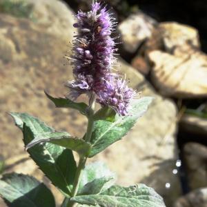 Photographie n°2328064 du taxon Mentha longifolia (L.) Huds. [1762]