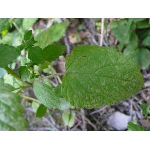 Melissa officinalis L. subsp. officinalis (Mélisse officinale)