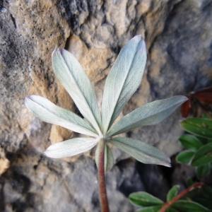 Photographie n°2328282 du taxon Potentilla alchemilloides Lapeyr. [1782]