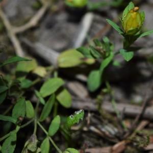 Photographie n°2328313 du taxon Hypericum humifusum L. [1753]