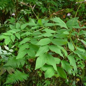 Photographie n°2328384 du taxon Fabaceae