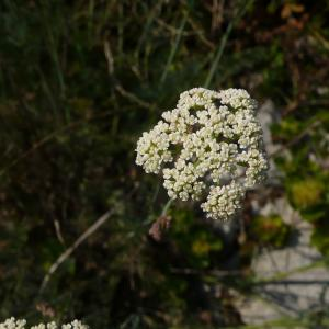 Photographie n°2328587 du taxon Seseli montanum subsp. montanum