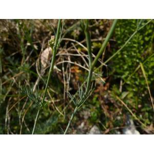 Seseli montanum L. subsp. montanum (Séséli des montagnes)