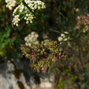 Photographie n°2328592 du taxon Seseli montanum subsp. montanum