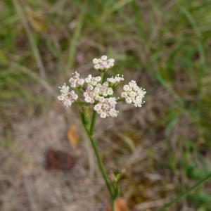 Photographie n°2328741 du taxon Seseli montanum subsp. montanum