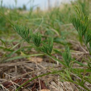 Photographie n°2328744 du taxon Seseli montanum subsp. montanum