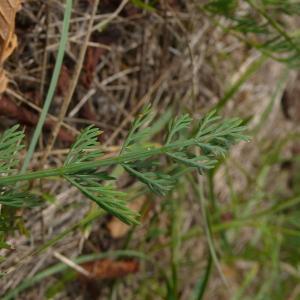 Photographie n°2328746 du taxon Seseli montanum subsp. montanum