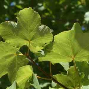 Photographie n°2328778 du taxon Acer opalus Mill.