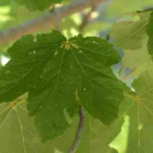 Photographie n°2328779 du taxon Acer opalus Mill.