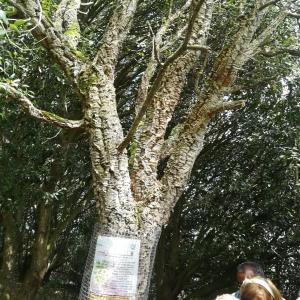 Photographie n°2329028 du taxon Quercus suber L. [1753]
