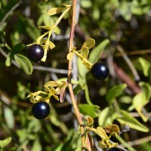 Photographie n°2329211 du taxon Jasminum fruticans L. [1753]