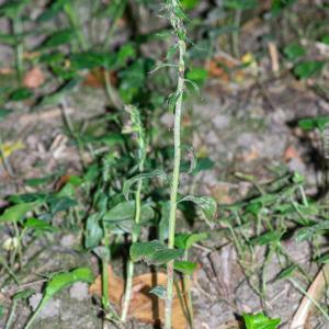 Photographie n°2329238 du taxon Epipactis fibri Scappaticci & Robatsch [1995]