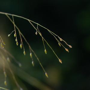 Aira elegantissima Schur (Canche capillaire)