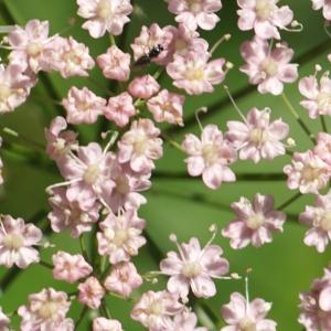 Photographie n°2329625 du taxon Pimpinella major (L.) Huds. [1762]