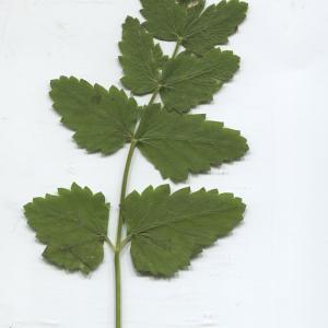 Photographie n°2329642 du taxon Pimpinella major (L.) Huds. [1762]