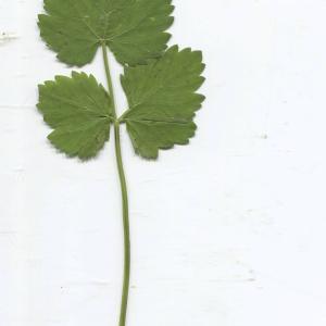 Photographie n°2329643 du taxon Pimpinella major (L.) Huds. [1762]