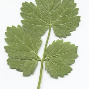 Photographie n°2329644 du taxon Pimpinella major (L.) Huds. [1762]