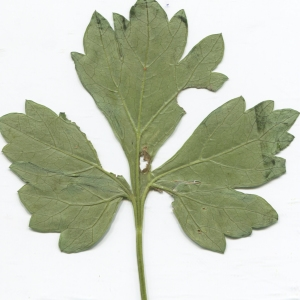Photographie n°2329646 du taxon Pimpinella major (L.) Huds. [1762]
