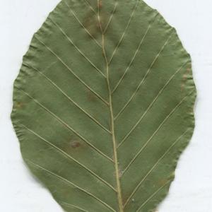 Photographie n°2329820 du taxon Fagus sylvatica L.