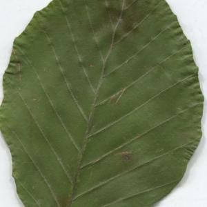 Photographie n°2329821 du taxon Fagus sylvatica L.