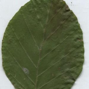 Photographie n°2329822 du taxon Fagus sylvatica L.