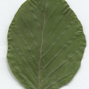 Photographie n°2329824 du taxon Fagus sylvatica L.