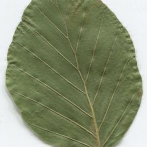 Photographie n°2329825 du taxon Fagus sylvatica L.