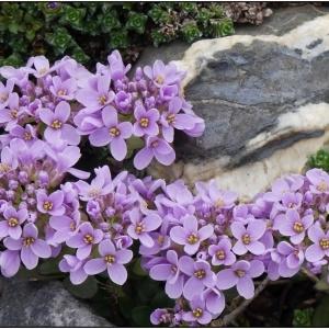 - Noccaea rotundifolia (L.) Moench [1802]