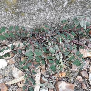 - Euphorbia maculata L. [1753]