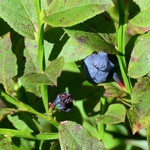 Photographie n°2330137 du taxon Vaccinium myrtillus L.