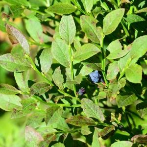 - Vaccinium myrtillus L.