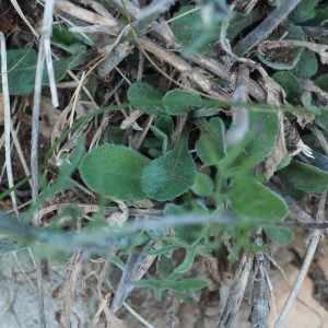 Photographie n°2330223 du taxon Scabiosa triandra L. [1753]