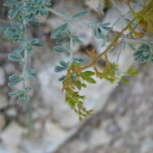 - Thesium humifusum subsp. humifusum