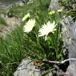 Photographie n°2330410 du taxon Hieracium intybaceum All.